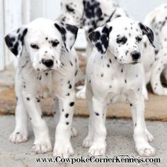 Thanks for joining us here at the barnyard! It has been fun playing with the Dalmatian Puppies! If you are interested in one of these family...