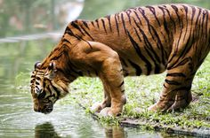 The time when it's most inconvenient for you, is the best time to spot tigers. Late April, all of May and early June, before the rains start, is when summer's crackling heat draws out the tigers. Everything is dry and sparse, making them easier to spot. There are fewer waterholes and all the animals come there to get their fill. So do the tigers. #CoxandKings