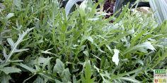 La roquette est une plante herbacée buissonnante et –disons-le- un brin envahissante, pouvant attein