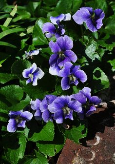 Violets ~ I used to pick little bouquets of violets in my Granny's back yard. Such a sweet memory! <3