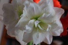 Így lesz csodás virága az amarillisznek | Balkonada Rose, Flowers, Plants, Pink, Plant, Roses, Royal Icing Flowers, Flower, Florals