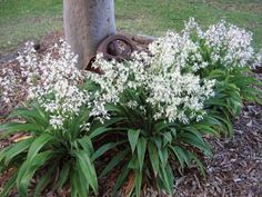 Rock Lily underplanting around Maple trees, driveway side