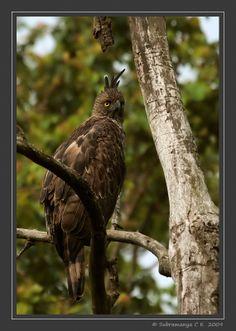 hawks and eagles | Changeable Hawk-eagle (Spizaetus cirrhatus) Crested Hawk Eagle