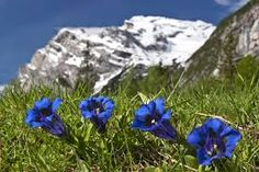 Blau, blau, blau blüht der Enzian...