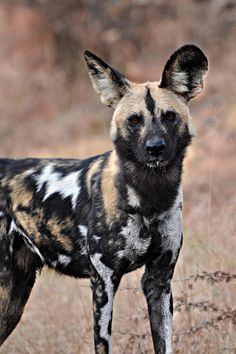 African Wild Dog Stare Down by ~Siluriformes