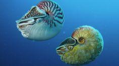 O molusco da espécie Allonautilus scrobiculatus foi descoberto pela primeira vez em 1984 e raramente é avistado desde então.