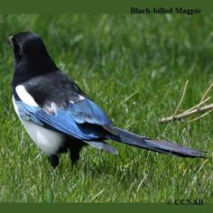 American Magpie | ... Magpie | Black-billed Magpie pictures | Magpies of North America