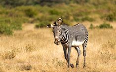 Funny Grevy's zebra. #travel #safari #Africa #wildlife #wild #nature #animals #zebra #Grevys #equids #horses #black #white #stripes #conservation #endangered #funny #strange African Animals, African Safari, Mountain Zebra, Dry River, Horn Of Africa, Wild Nature, Nature Animals, Zebras, Livestock