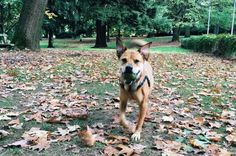 Off-leash fun at Laurelhurst Park - Portland, OR - Angus Off-Leash #dogs #puppies #cutedogs #dogparks #portland #oregon #angusoffleash: