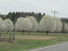 Ornamental pear trees and wild plum trees are blooming all over the state this Spring. People plant the pear trees down their driveways. 4-15
