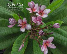 Ruby Blue Plumeria - Plumeria by Florida Colors Nursery