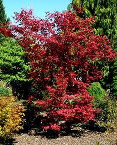 Acer Garden, Trees Online, Japanese Garden Design, Acer Palmatum, Maple Tree, Japanese Maple, Garden Theme, Trees And Shrubs, Organic Gardening