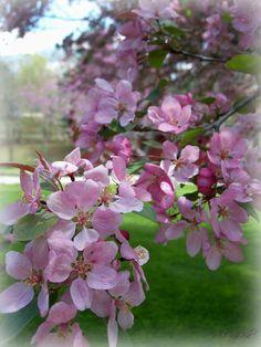 beautiful pink crab apple blooms