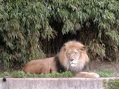 This photo was taken with an Agfa ePhoto 1680 . A great shot of the king of the jungle relaxing at Washington's National Zoo.