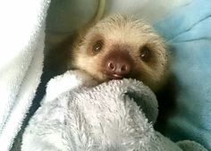 Sloth in a blanket Cute Baby Sloths, Cute Sloth, Super Cute Animals, Cute Baby Animals, Happy Animals, Animals And Pets, Sloth Stuff, Animal Antics, Fluffy Animals