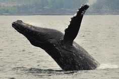 There are several companies in Tofino offering many different types of whale watching excursions.  Call our Concierges to find out more 1-800-333-4604