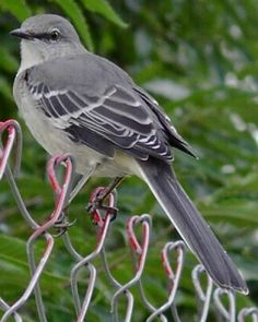 Mockingbird Texas State Bird Better Then An Alarm Clock In The Morning Lol