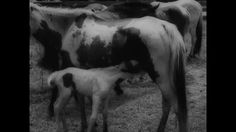Chincoteague Ponies: Wild Pony Roundup at Chincoteague Virginia 1959 Unversal Newsreel: http://youtu.be/bqGZsNTe-5U #pony #Chincoteague #Virginia