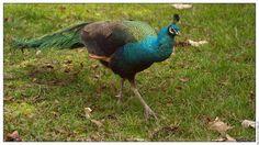 Oiseau paon bleu le paon de noel