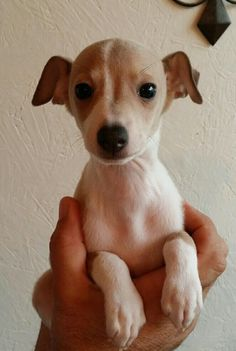 Italian Greyhound puppy, fawn, 7weeks old, Dobby