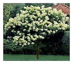 Limelight Hydrangea Tree.........part to full sun, drought resistant. Pretty much good for any area. Also grows as a bush but can be trimmed to a tree. Flowers on new growth