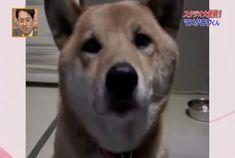 Inside voice Shinu Inu  videolink: https://youtu.be/nep3jKwVZe8 link: afv.com/shiba-inu-dog-knows-use-inside-voice/