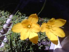 Junquilho amarelo