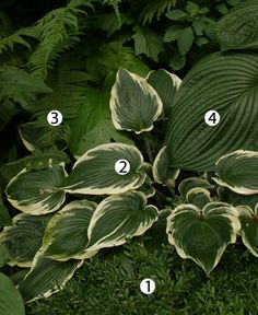 Combos for Shade  1. Korean boxwood (Buxus microphylla var. koreana, Zones 4-9)  2. Hosta (Hosta cv., Zones 3-9)  3. Christmas fern (Polystichum acrostichoides, Zones 3-8)  4. 'Mister Big' hosta (Hosta 'Mister Big', Zones 3-9)  Click to enlarge and see all four plants on page link.