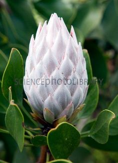 King protea (Protea cynaroides) flower Protea Art, Protea Flower, Flora Flowers, Flowers Nature, Exotic Flowers, Amazing Flowers, Paper Flowers, Wild Flowers, Beautiful Flowers
