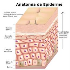 Epidermis Structure Diagrams , 7 Skin Structure Anatomy Diagrams In Cell Category Basal Cell Carcinoma, Skin Structure, Human Anatomy, Skin Anatomy, 3d Anatomy, Anatomy And Physiology, Acne Remedies, Anti Aging Skin Care, Cellulite