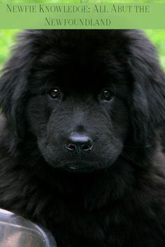 Most Inspiring Newfoundland Chubby Adorable Dog - 4c91fa15460d582250f49639b90c8853--newfoundland-dogs-awesome-dogs  Pic_706618  .jpg