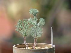 霧氷玉 Eriospermum paradoxum