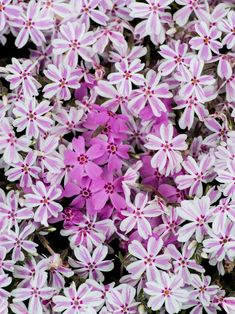 Perennials Give your yard a splash of color with perennials that do their thing in spring. - Discover spring blooming perennials, including bluebells and bleeding heart, from the experts at HGTV Gardens. Red Creeping Thyme, Creeping Phlox, Spring Bulbs, Spring Blooms, Spring Flowers, Moss Phlox, Dwarf Mondo Grass, Dwarf Shrubs, Jasmine Plant