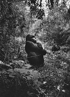 A vine in two hands is worth one in the bush. Whaddya mean 'I've got that backwards? Gorilla Gorilla, Documentary Photographers, Great Photographers, Primates, Black White Photos, Black And White Photography, Animal Photography, Street Photography, Inspiration Artistique