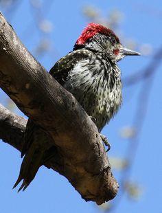 Golden-tailed Woodpecker, Campethera abingoni at Walter Sisulu National Botanical Garden | Flickr - Photo Sharing!