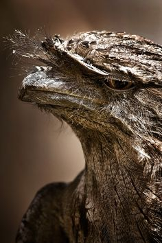 The frogmouth birds are a group of nocturnal birds related to the nightjars. They are named for their large flattened hooked bills and huge frog-like gape, which they use to capture insects. Their flight is weak. They rest horizontally on branches during the day, camouflaged by their cryptic plumage. Up to three white eggs are laid in the fork of a branch, and are incubated by the female at night and the male in the day. Tawny Frogmouth