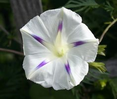 Morning Glory (Ipomoea purpurea 'Milky Way')