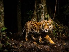 (vía Tiger Picture – Animal Wallpaper - National Geographic Photo of the Day)