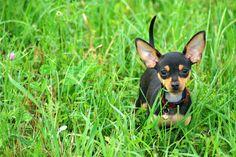 Dobbie Chihuahua/MinPin cross