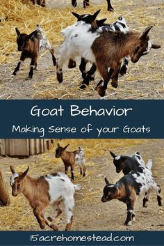 Understanding goat behavior will reduce the stress levels as well as the behavioral issues when raising goats on the homestead. Simple tips and tricks here. Raising Farm Animals, Raising Goats, Mini Goats, Baby Goats, Keeping Goats, Goat Shelter, Goat Pen, Goat Care, Nigerian Dwarf Goats