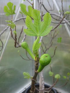 Fig trees are easy plants, grown in pots and carried inside before winter. Easy to propagate from cuttings. We never have figs in abundance, but every single one is a gem! March 15th 2015