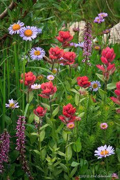 Wildflowers at Rocky Mountain National Park, Colorado Amazing Flowers, Wild Flowers, Beautiful Flowers, Pikes Peak, Colorado Wildflowers, Parks, Rocky Mountain National Park, Flower Backgrounds, Rocky Mountains