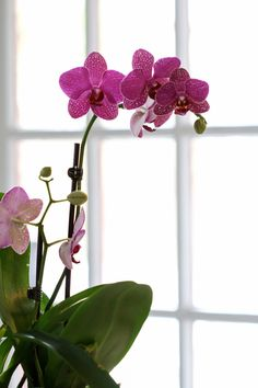 Orchid - I've got to get some of these gorgeous flowers for a room in our house and use them as the color inspiration.