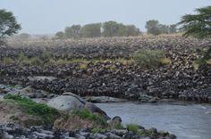Migration crossing Grumeti river, Serengeti National Park, Tanzania