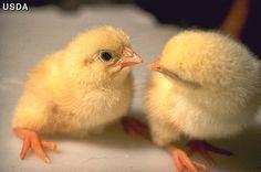 #stopfactoryfarming :) Backyard Coop, Backyard Birds, Chickens Backyard, Fancy Pants Chicken, Urban Chickens, City Folk, Factory Farming, Building A Chicken Coop, Chicken Eggs