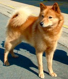 "The Finnish Spitz is the national dog of Finland. The breed was developed to hunt a variety of game such as rodents, grouse, elk, moose, and bears. They are ""bark pointers,"" which identify their prey and make the prey focus on them and not the hunter. The Finnish Spitz makes an excellent bird dog. They require extensive exercise and prefer to live in cooler climates."