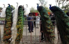 Peacocks displayed for sale in Afghanistan. Look at the amazing gradient of colours on their tails.