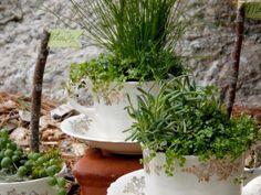 Plantings used in our teacups include:  Soleirolia soleirolii , Othonna capenisis,  Sagina subulata ,  Isolepis cernua  and Sencio rowleyanus.