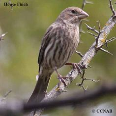House Finch | House Finch pictures | Finches of North America | Birds