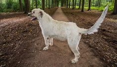 This Irish Wolfhound Just Broke the Record for Longest Dog Tail http://www.wideopenpets.com/this-irish-wolfhound-just-broke-the-record-for-longest-tail-on-a-dog/